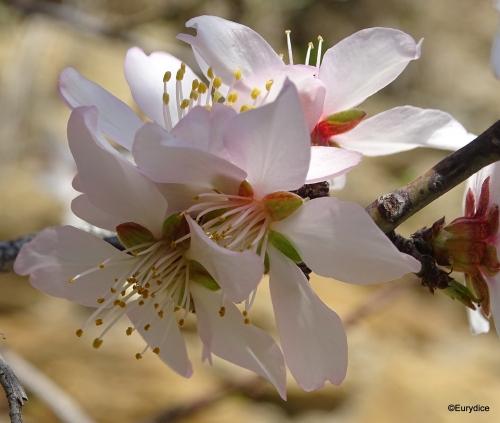 amandier, fleur, printemps, Provence