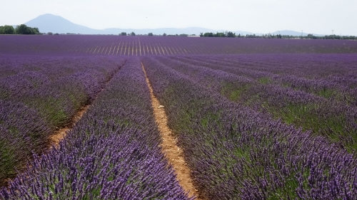 Lavande, Valensole, Provence, France, lavender fields